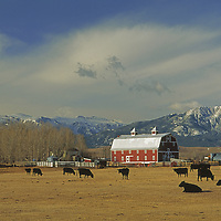 Cattle graze by barn on ranch under Beartooth Mountains.