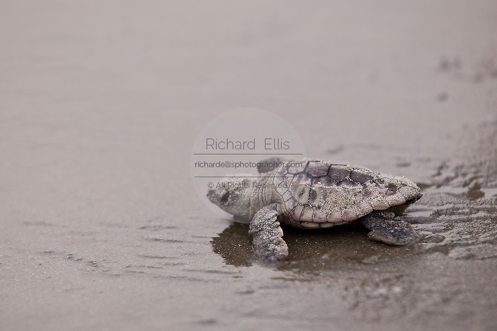 Loggerhead turtle hatchling crawls to the Atlantic ocean on the Isle of Palms,  SC.