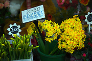 Isles of Scily scented narcissi daffodils for sale in florist shop
