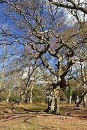 Ancient Oak, Matley Wood, New Forest National Park near Lyndhurst, Hampshire