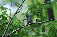 Gray Catbird grooming on a branch.
