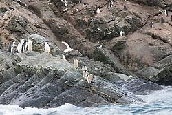 Chinstrap Penguins, Point Wild, Elephant Island