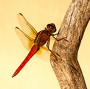 Beautiful, flashy red neon skimmer dragonfly, Houston, Texas