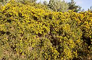 Yellow flowers of evergreen shrub Common Gorse Ulex europaeus, also known as furze, growing on a bush in Suffolk Sandlings heathland, England, UK