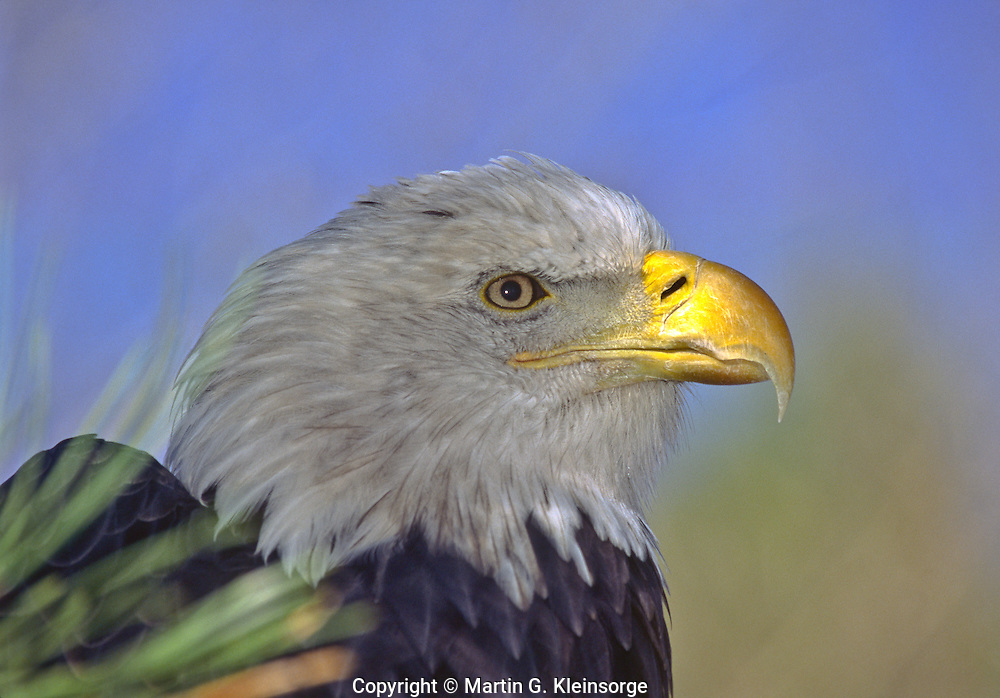 Bald Eagle (Haliaeetus leucocephalus). Mature Bald Eagles have dark brown bodies with a white head and tail.