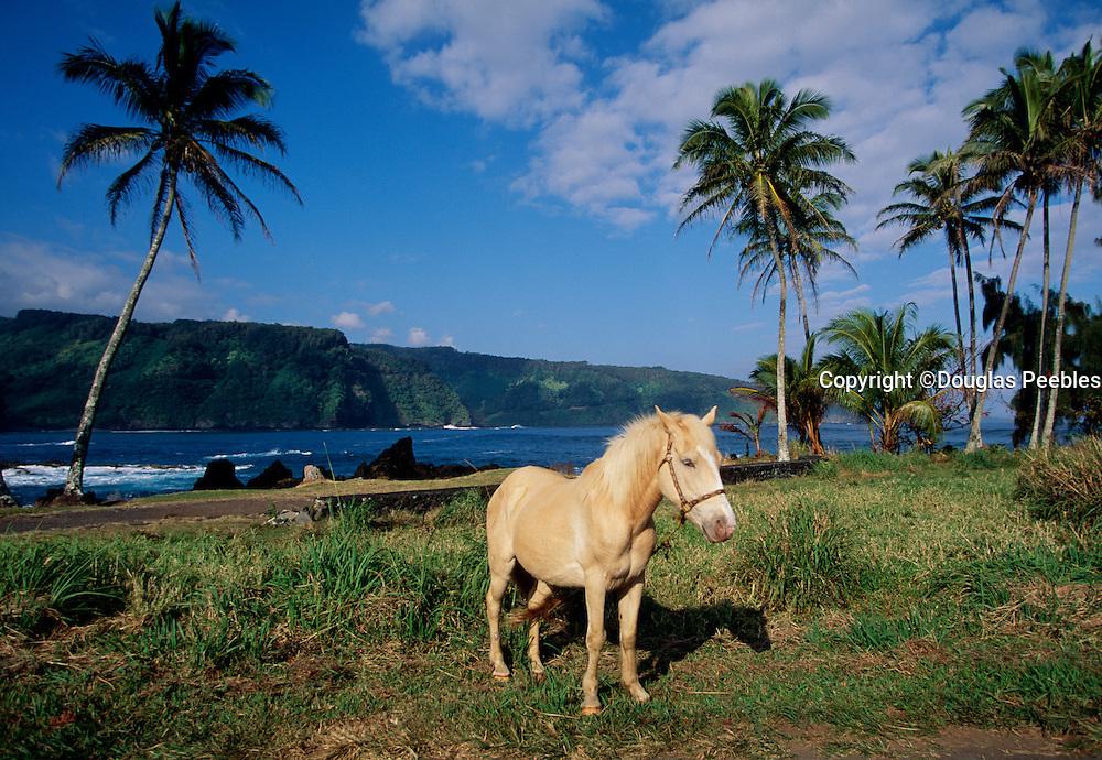 Horse, Keanae Peninsula, Hana Coast, Maui, Hawaii