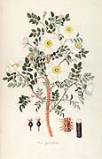 Hand painted botanical study of Rosa spinosissima (Scotch Rose) flower anatomy from Fragmenta Botanica by Nikolaus Joseph Freiherr von Jacquin or Baron Nikolaus von Jacquin (printed in Vienna in 1809)