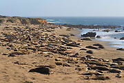 Hundreds of elephant seals fill the beach at the Piedras Blancas Elephant Seal Rookery near San Simeon, California. Elephant seals typically spend 9 months at sea, coming to shore only to give birth, mate and molt. Elephant seals are named for the long snouts, called proboscis, that male seals develop. The Piedras Blancas Elephant Seal Rookery is part of the Piedras Blancas State Marine Reserve and Marine Conservation Area, managed by California.