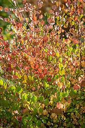 Autumn foliage of Cercidiphyllum japonicum 'Boyd's Dwarf' - Katsura Tree