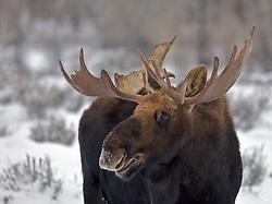 Bull Moose, Winter, portrait, Grand Teton National Park
