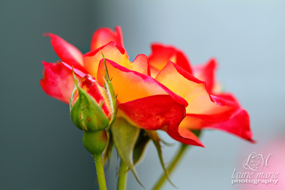Red Orange and Yellow Roses from the side