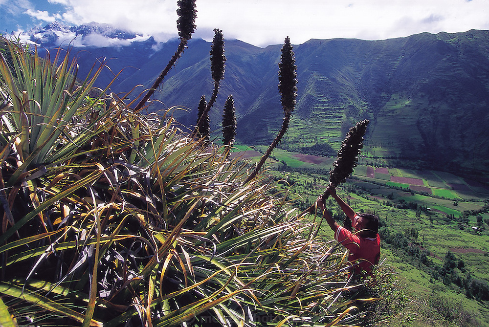 Nicasio Huaman cuts the mature seed head stems of the arawanku plant to reach the tanyo kuro worms, Urubamba River Valley, Chicón, Peru. (Man Eating Bugs page 152.)
