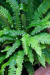 Blechnum spicant AGM (Hard fern)