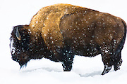 Bison in snow, Yellowstone National Park. Montana.