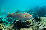 Blue-Chin Parrotfish (Scarus ghobban)<br /> Bartolome<br /> Galapagos<br /> Ecuador<br /> South America