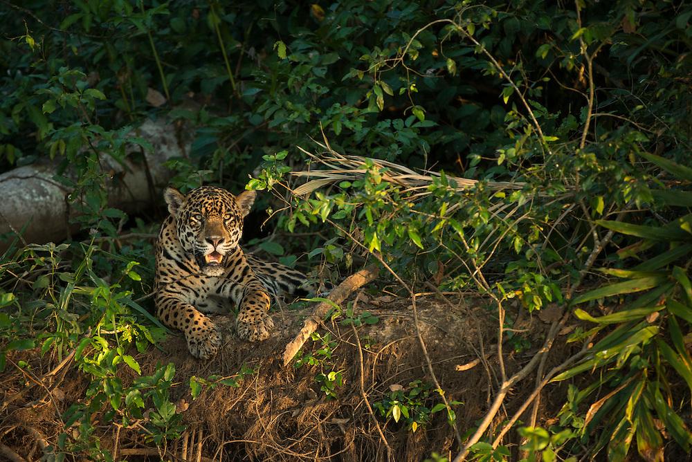 Jaguar (Panthera onca) female<br /> Northern Pantanal<br /> Mato Grosso<br /> Brazil<br /> (Ruth)