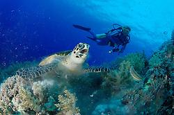 Eretmochelys imbricata, Echte Karettschildkröte am Korallenriff frisst Weichkoralle und Taucher, Hawksbillturtle in coralreef feeding soft coral, Brother Inseln, Rotes Meer, Ägypten, Brother Islands, Red Sea Egypt