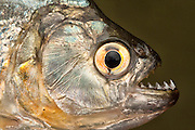 Piranha<br /> (Serrasalmus sp.)<br /> Rewa River<br /> Rainforest<br /> GUYANA. South America