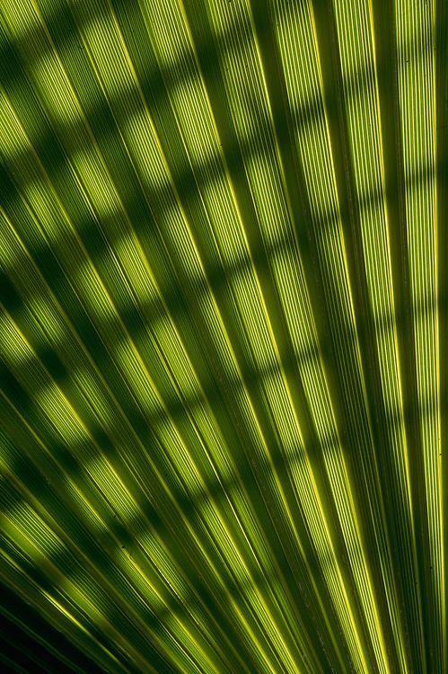 Backlit palm leaf, Death Valley National Park, California, USA