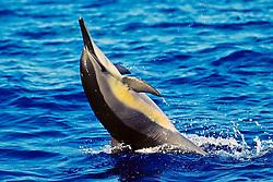 long-snouted spinner dolphin tail-walking, Stenella longirostris, Kona, Big Island, Hawaii, Pacific Ocean