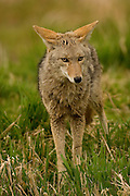 A coyote (Canis latrans) in the Ridgefield National Wildlife Refuge, Washington.