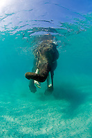 Rajan, The Snorkelling Elephant.Andaman Islands, India