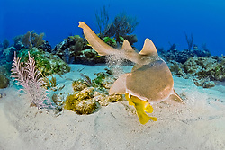 nurse shark, Ginglymostoma cirratum, feeding on reef fish, Key Largo, Florida Keys National Marine Sanctuary, Florida, USA, Caribbean Sea, Atlantic Ocean