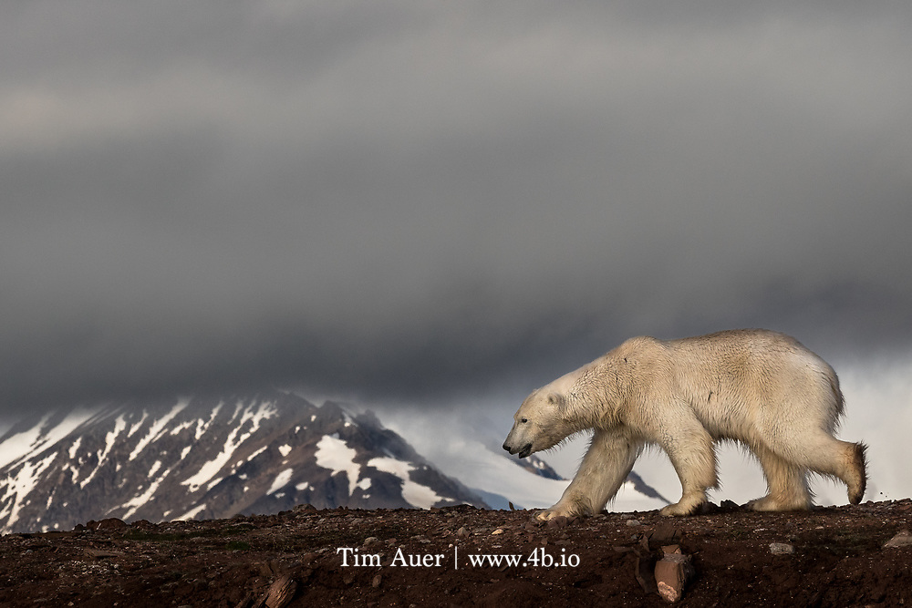 """King of the Mountain<br /> Polar Bear<br /> Svalbard<br /> Spotting wildlife is never guaranteed. In fact, at times it feels like Mother Nature is actively advising her creatures to hide from me. But every now and then, she surprises you with a scene that goes beyond your wildest dreams. This was the case for these courting polar bears in the high arctic.<br /> <br /> On the final full day of my 11 day Svalbard expedition, we sailed to a location not typically known for hosting polar bears. I was sad that, in all likelihood, I had already seen the trip's last polar bear. But it had been a good trip for bears; with 20 or so sightings around the archipelago, and the weather on this day was great. The low angle polar sun provided perfect photographic conditions. Lots of light, blue sky, and puffy clouds. We manned the zodiacs with the goal of bird photography. I observed these two bears and the agenda quickly shifted….<br /> <br /> In this scene, a large adult male bear is following an adult female. When the two were in frame, the sexual dimorphism between them was striking. But despite his substantial size advantage, the male behaved like a nervous teenager that lacks the courage to ask for a date. The female played it cool. Mostly ignoring him as she sniffed the beach, occasionally giving him a playful glance back. This ballet went on for over 2 hours. These bears had each other's full attention; my zodiac and I weren't given a passing glance. Here the male polar bear appears to be sandwiched between the clouds and the red earth, as he moves in the direction of the female. A white bear is supposed to be on white snow or ice, but this photo may be representative of what our future holds in a warming climate.<br /> <br /> The famous polar bear warning signs posted in Svalbard have the Norwegian words: """"Gjelder hele Svalbard"""" and the image of a polar bear. Which means """"Polar Bears to be found all over Svalbard"""". The sweetest words in the Norwegian language rang true her"""