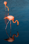 Greater flamingo (Phoenicopterus roseus) <br /> Floreana Island<br /> GALAPAGOS ISLANDS,<br /> Ecuador, South America
