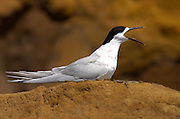 White-fronted tern (Sterna Striata) calling on a rock near South Head on the Tasman Sea,  North Island, New Zealand