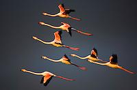 Greater Flamingos (Phoenicopterus roseus) in flight,  Camargue, France