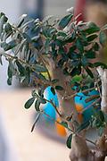 Miniature olive tree bonsai in a pot