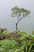 A single tree in the fog of a hiking trail on Oahu, Hawaii.