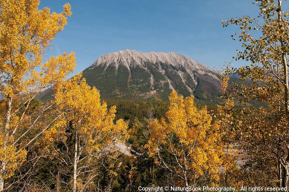 Golden aspen leaves brighten the landscape in late fall near Banff National Park in Western Canada.