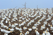Colony of northern gannets (Morus bassanus) off the Atlantic Ocean<br /> Bonaventure Island<br /> Quebec<br /> Canada