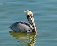 Pelican, Pine Island, Matlacha, Florida, USA.