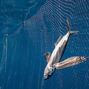 A driftnet catches flying fish off Sri Lanka