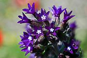 Israel, Common Alkanet (Anchusa undulata)