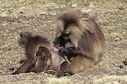 Africa, Ethiopia, Simien mountains, Gelada monkeys Theropithecus gelada grooming
