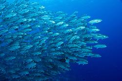 A densely packed school of Bigeye Trevally, Caranx sexfasciatus,  maintain tight formation in mid-water.  Pulau Koon, Banda Sea, Indonesia, Pacific Ocean
