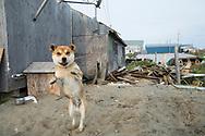 En hund bunden utanför ett hem i Shishmaref. Alaska, USA<br /> <br /> Fotograf: Christina Sjögren<br /> <br /> Photographer: Christina Sjogren<br /> Copyright 2018, All Rights Reserved
