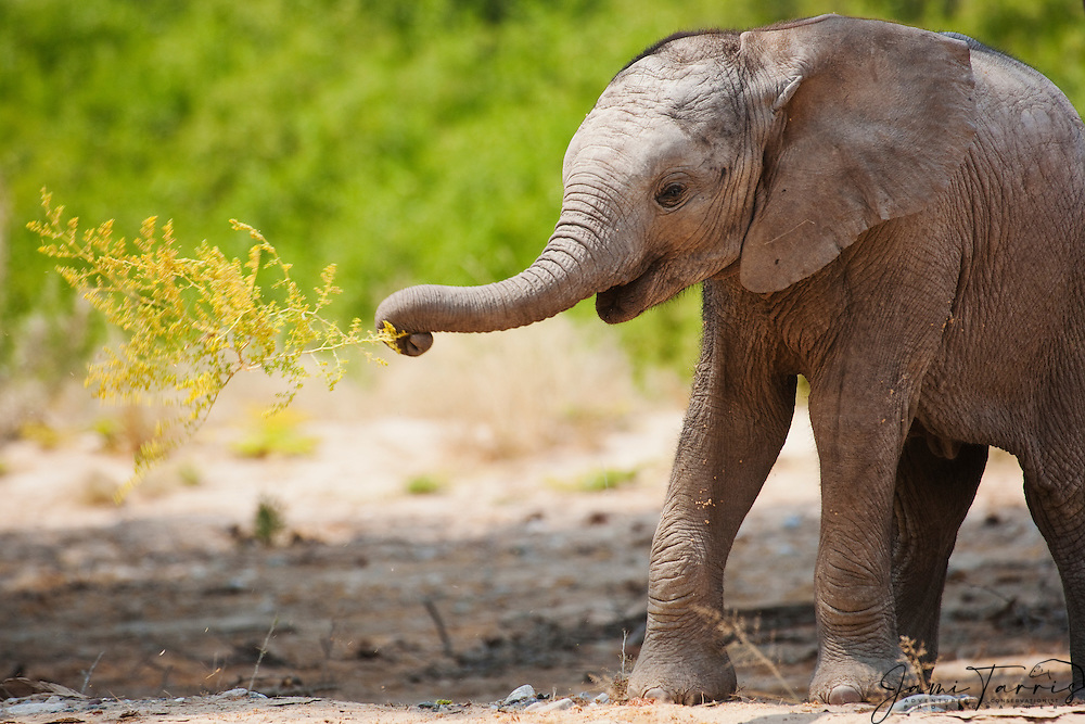 A young desert-adapted elephant calf (Loxodonta africana) clumsily playing with a desert plant, Skeleton Coast, Namibia,Africa
