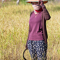 Pare, harvesting rice on the fields belonging to her family.