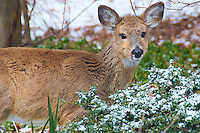 Yearling Deer Eating my Shrubs in the Snow. Nikon D300 18-200 mm f/3.5-5.6 VR lens (ISO 200, 200 mm, f/6.3, 1/160 sec)