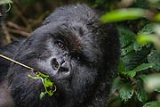 A  Silver-backed mountain gorilla (Gorilla beringei beringei) feeding on leaves, Volcanoes National Park, Rwanda
