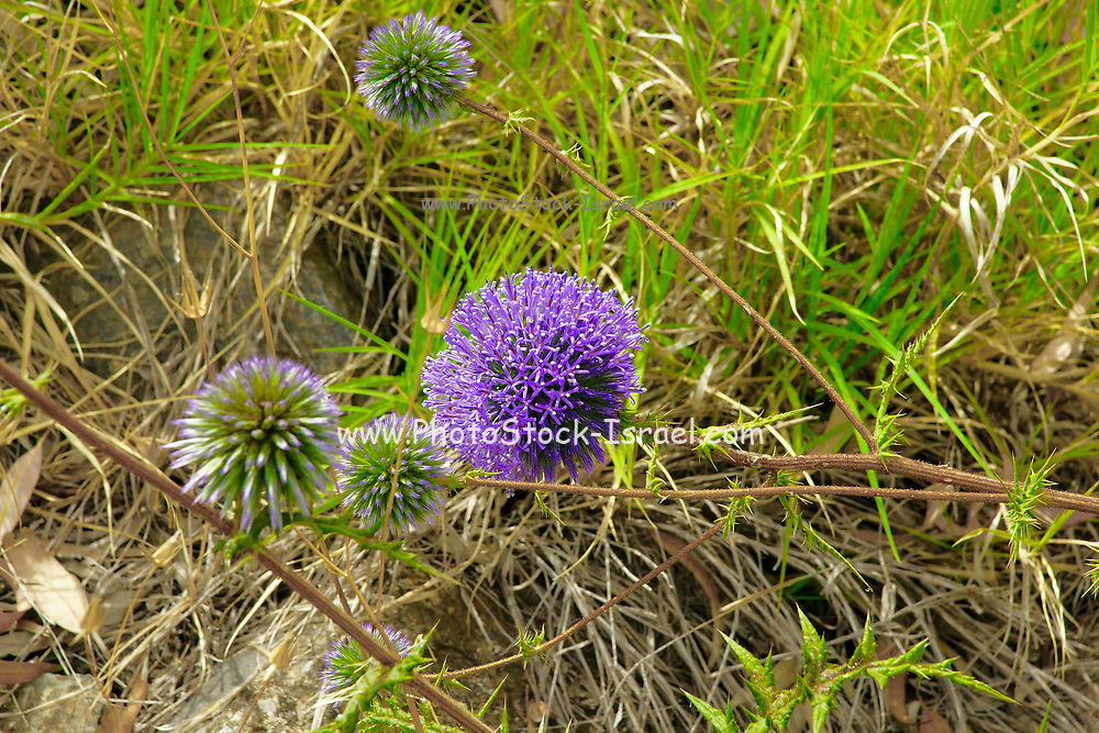 Echinops adenocaulos, Common Globe thistle. Photographed in the Golan Heights, Israel