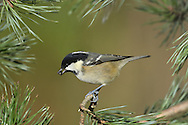 Coal Tit Parus ater L 10-11cm. Tiny, well-marked and warbler-like bird. Sexes are similar. Adult has white cheeks and white nape patch on otherwise black head. Back and wings are bluish grey and underparts are pale pinkish buff. Note two white wingbars and dark, needle-like bill. Juvenile is similar but colours and markings are less striking. Voice Utters a thin call. Song is repeated teechu-teechu-teechu…, higher pitched and more rapid than Great Tit.<br /> Status Fairly common resident of conifer forests and mixed and deciduous woodland.
