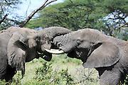 Africa, Tanzania, Serengeti National Park two male African Bush Elephant (Loxodonta africana) locking tusks