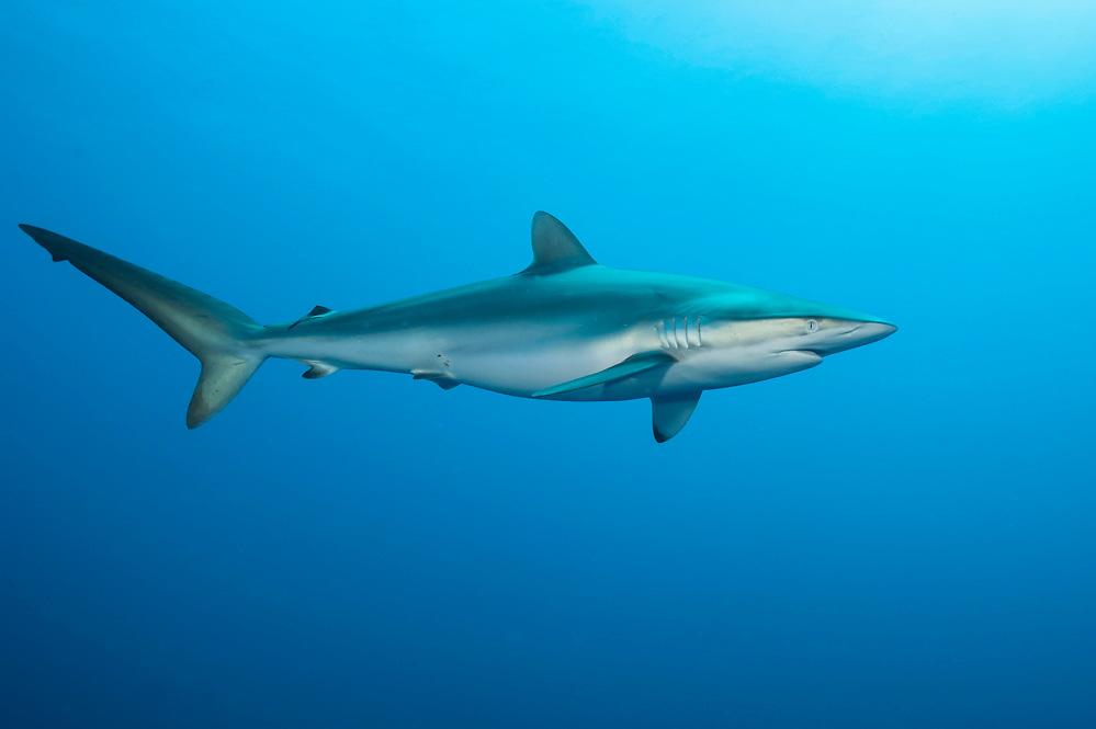 A Silky Shark, Carcharhinus falciformis, swims offshore Jupiter, Florida, United States.