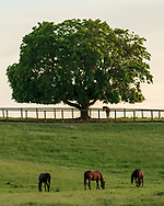 A standardbred horses graze near a tree at Cameo Hills Farm in Montgomery, N.Y on May 31, 2021.